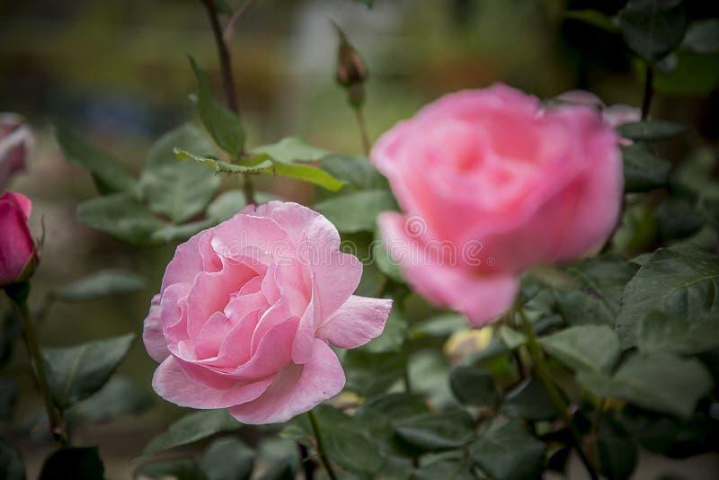 Feche acima da rosa do rosa no jardim fotos de stock royalty free