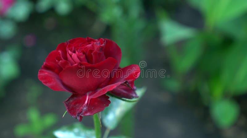 Feche acima da rosa do vermelho em um arbusto em um jardim Fundo obscuro verde da natureza com lugar para o texto summertime foto de stock