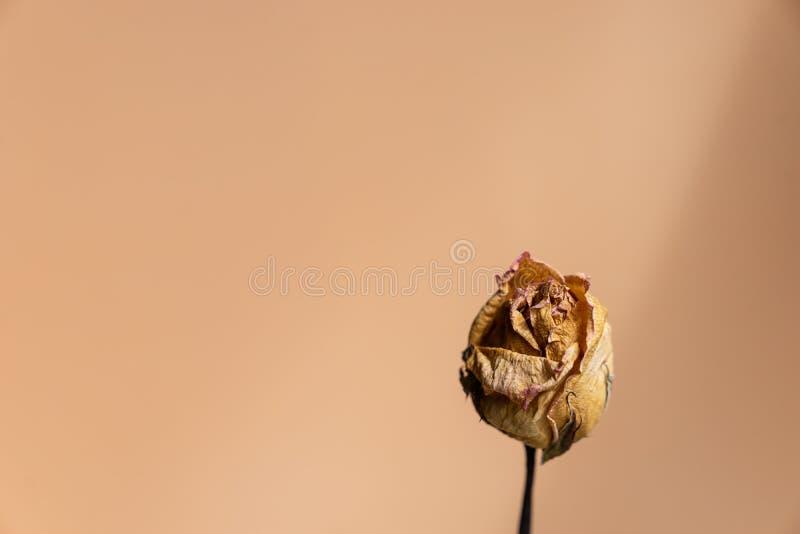 Feche acima da rosa seca do marrom contra o fundo do rosa cor-de-rosa, lov da memória fotografia de stock