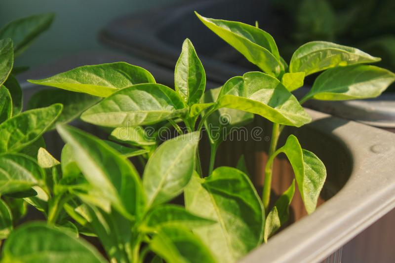 Feche acima da ?rvore de pimenta nova do piment?o vermelho com as folhas verdes frescas, crescendo na soleira fotografia de stock royalty free