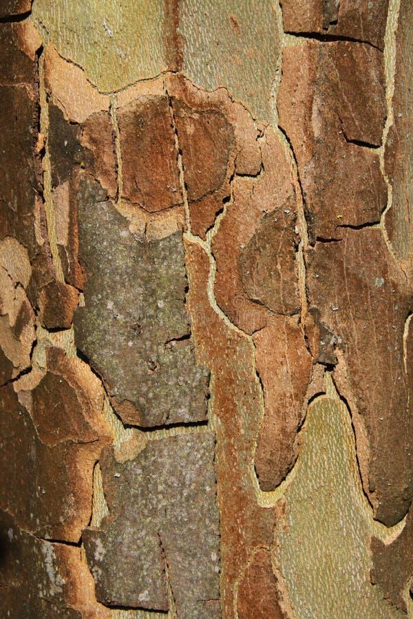 Feche acima da superfície da casca do sicômoro da árvore plana na luz solar brilhante imagens de stock royalty free