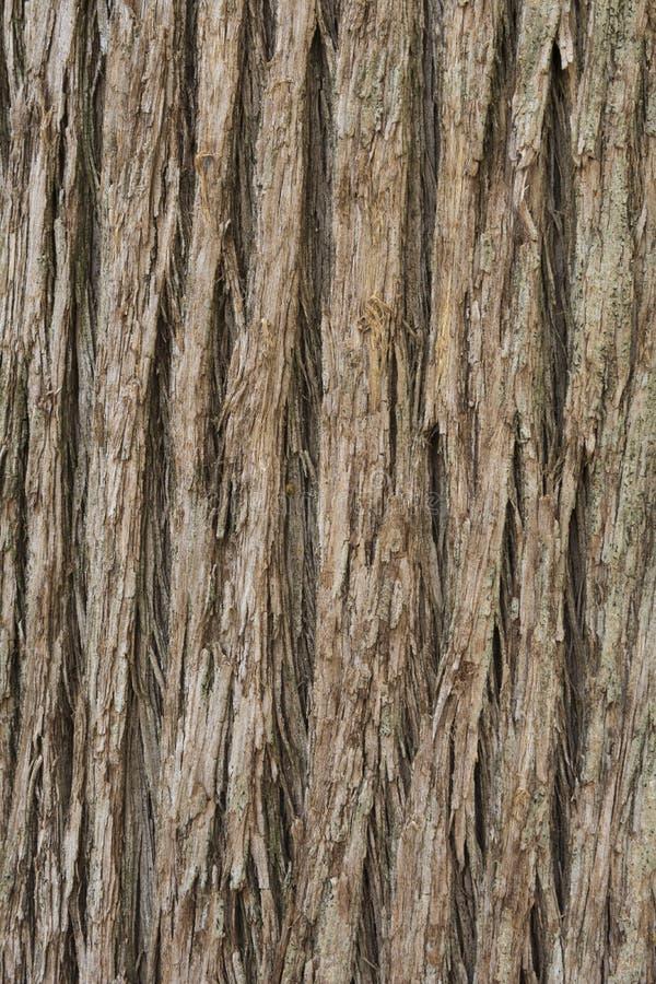 Feche acima da textura da casca de árvore de Cypress imagens de stock royalty free