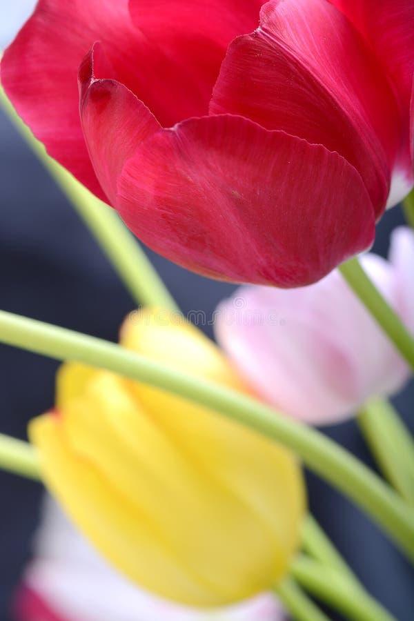 Feche acima da tulipa no preto, flores foto de stock royalty free