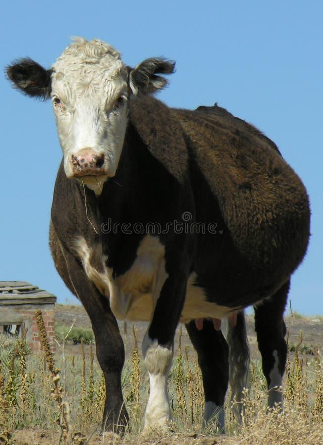 Feche acima da vaca imagem de stock royalty free