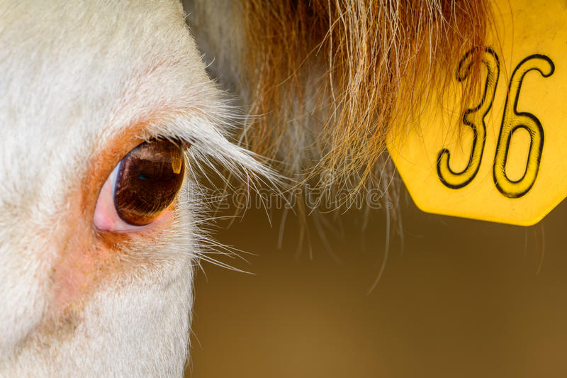 Feche acima da vaca de Hereford com etiqueta de orelha imagem de stock royalty free