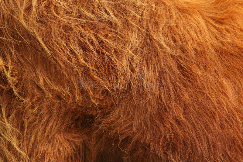 Feche acima da vaca escocesa das montanhas no campo foto de stock royalty free