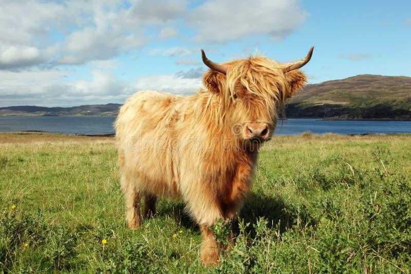 Feche acima da vaca escocesa das montanhas no campo fotografia de stock