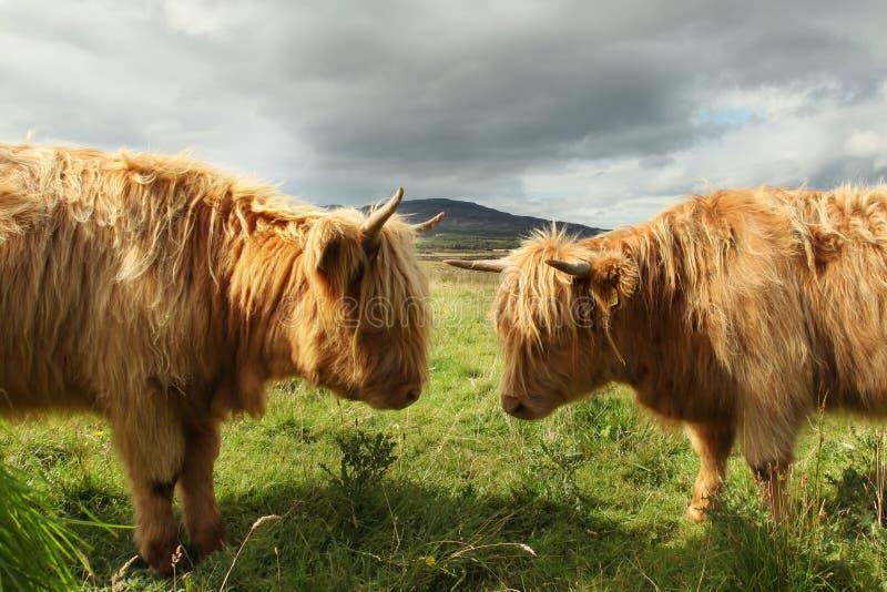 Feche acima da vaca escocesa das montanhas no campo imagens de stock