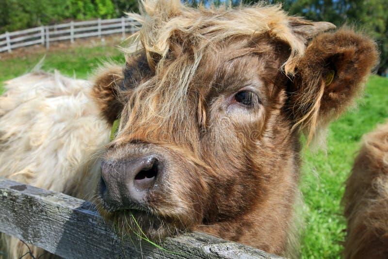 Feche acima da vaca escocesa das montanhas no campo fotografia de stock royalty free