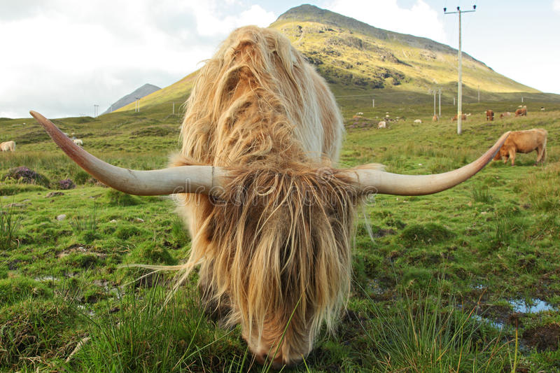 Feche acima da vaca escocesa das montanhas no campo fotos de stock royalty free