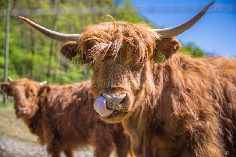 Feche acima da vaca escocesa das montanhas no campo imagens de stock royalty free