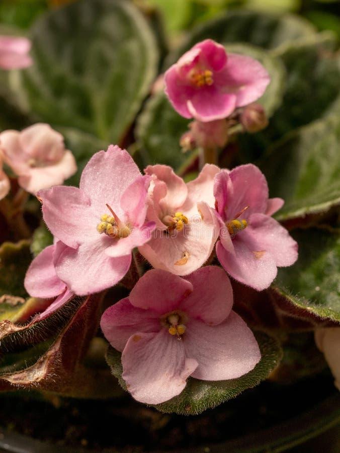 Feche acima da violeta africana ou do Saintpaulia Mini Potted Plant Sele imagens de stock royalty free
