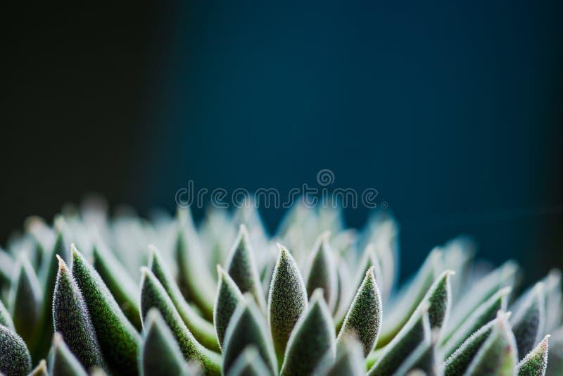 Feche acima da vista da planta da planta carnuda da simetria fotos de stock royalty free