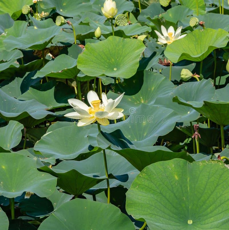 Feche acima da vista de flores de florescência do lírio de água em Carter Lake Iowa imagens de stock