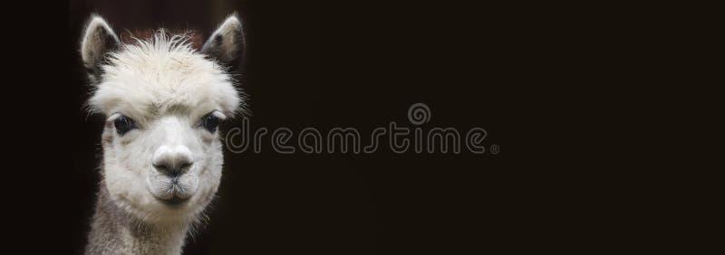Feche acima da vista de uma alpaca nova com espaço da cópia na frente do fundo preto fotografia de stock