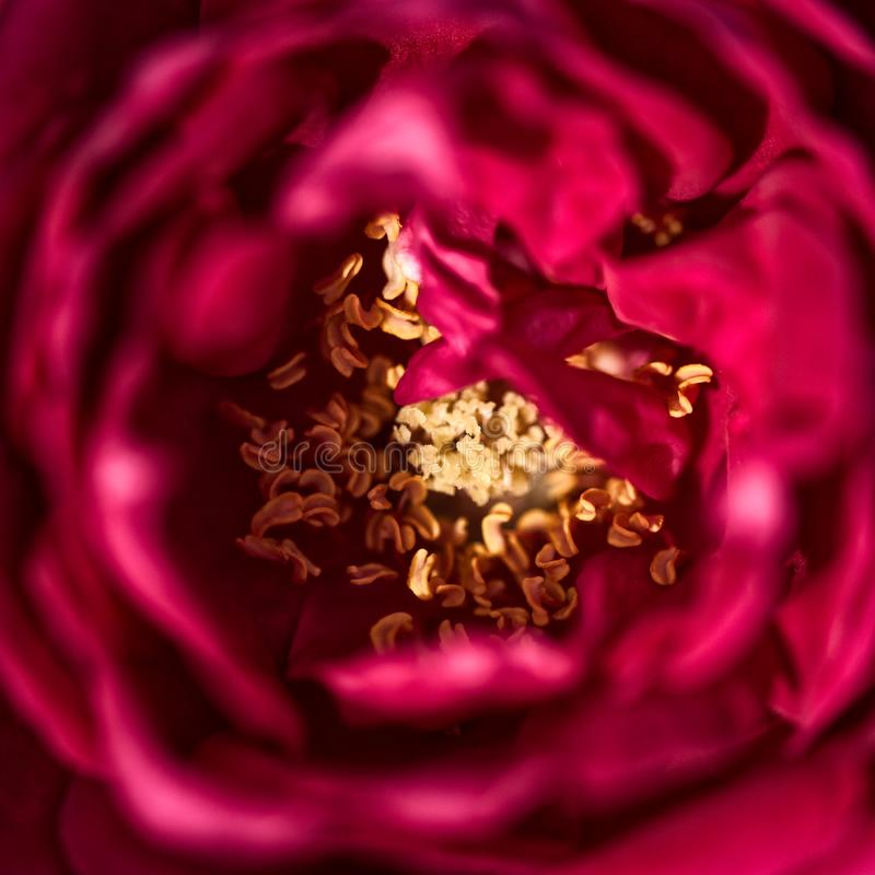 Feche acima da vista de uma flor vermelha imagens de stock