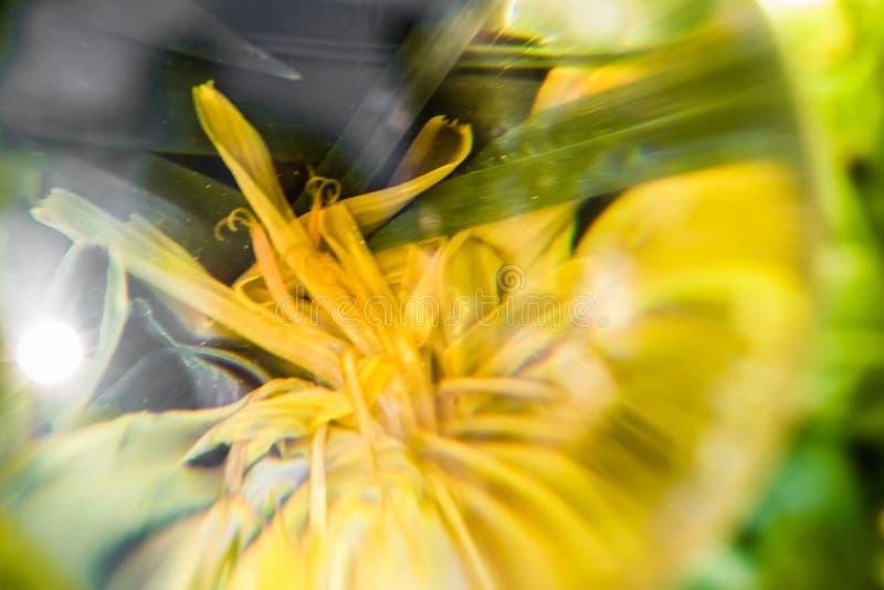 Feche acima da vista macro através da bola da lente das pétalas amarelas da flor no fundo verde abstrato imagens de stock