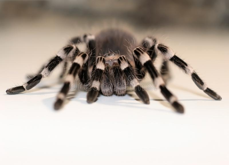 Feche acima da vista na aranha grande imagens de stock royalty free