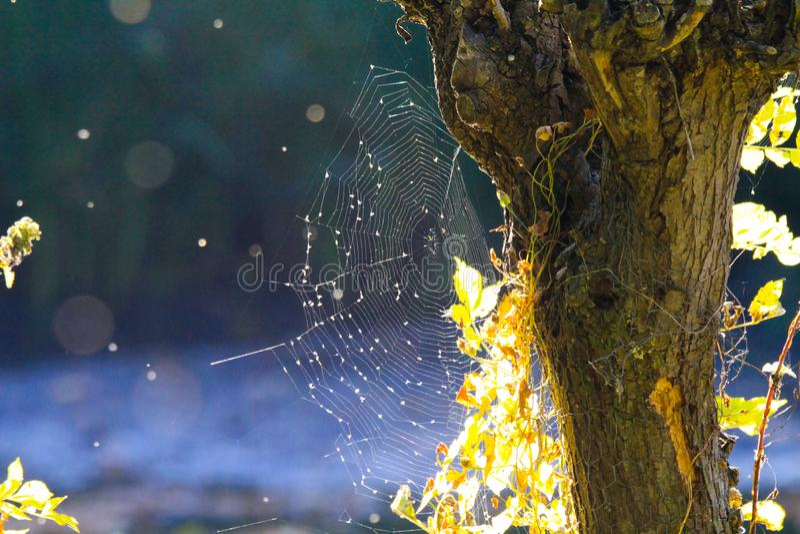 Feche acima da Web de aranha de brilho na casca do tronco de árvore com as folhas de incandescência brilhantes no fundo azul borr imagem de stock royalty free