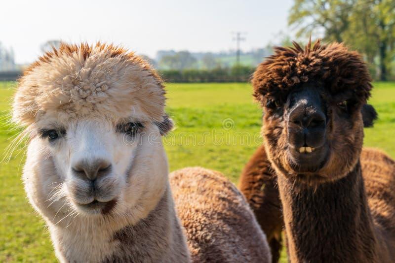 Feche acima das alpacas de vista engraçadas na exploração agrícola foto de stock royalty free