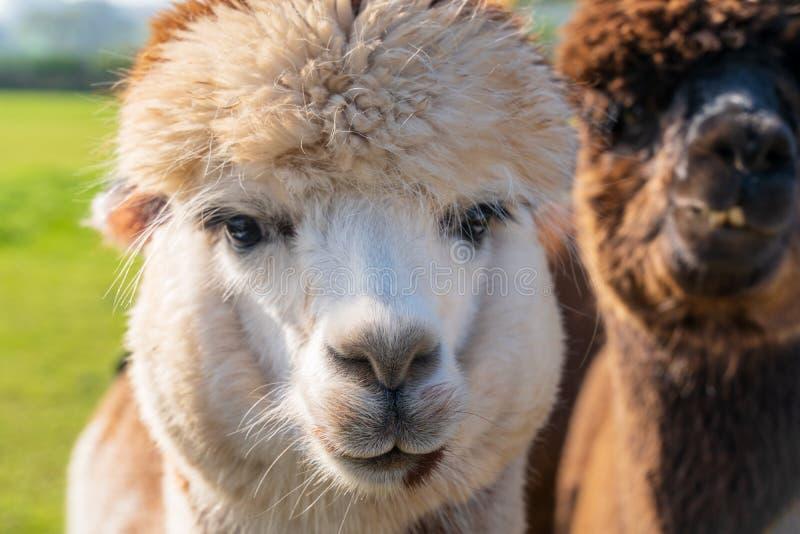 Feche acima das alpacas de vista engraçadas na exploração agrícola imagem de stock royalty free