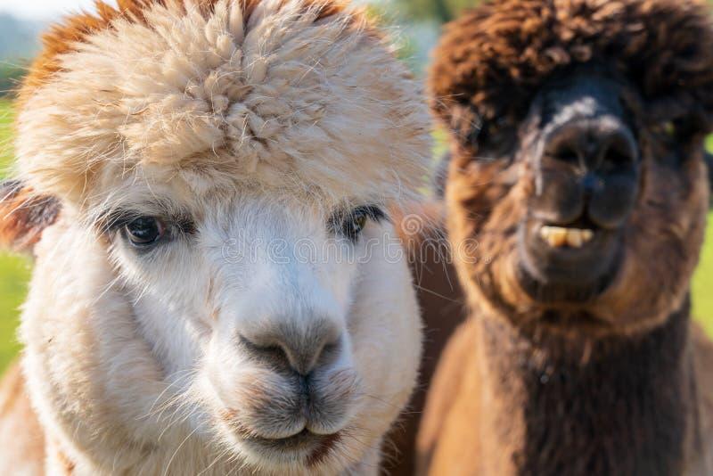 Feche acima das alpacas de vista engraçadas na exploração agrícola imagens de stock royalty free