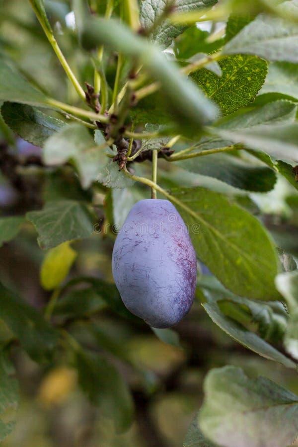 Feche acima das ameixas maduras no ramo Ameixas maduras em um ramo de árvore no pomar fotos de stock royalty free
