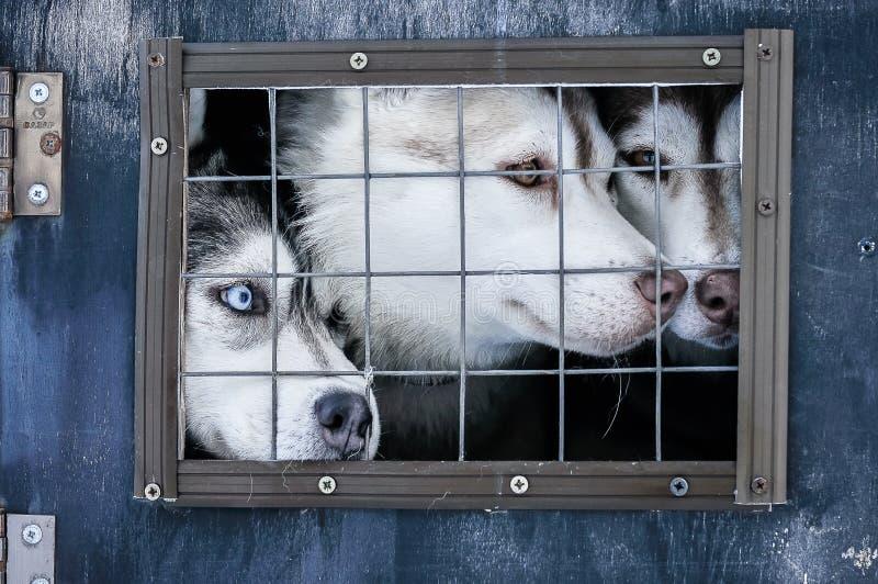 Feche acima das caras do cão de puxar trenós Siberian imagens de stock
