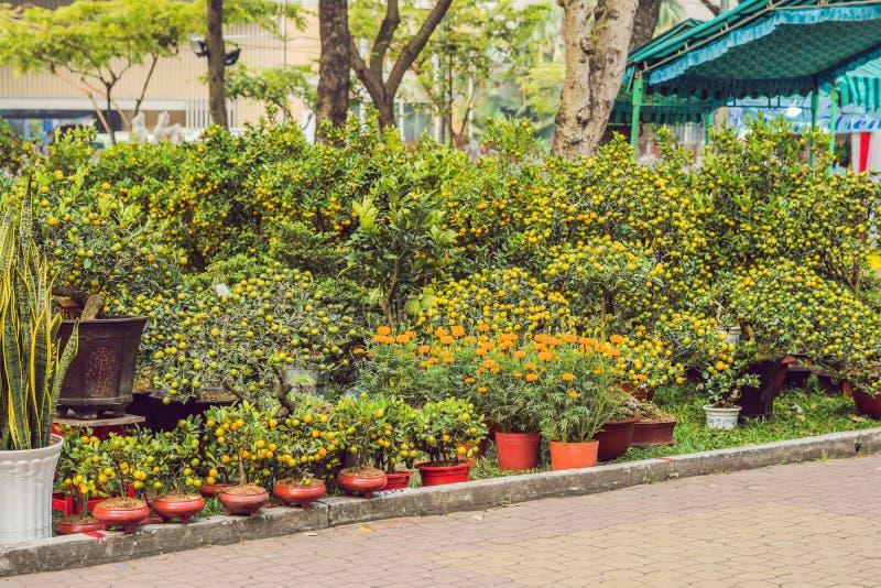 Feche acima das citrinas alaranjadas vibrantes em uma árvore de Kumquat na honra fotos de stock