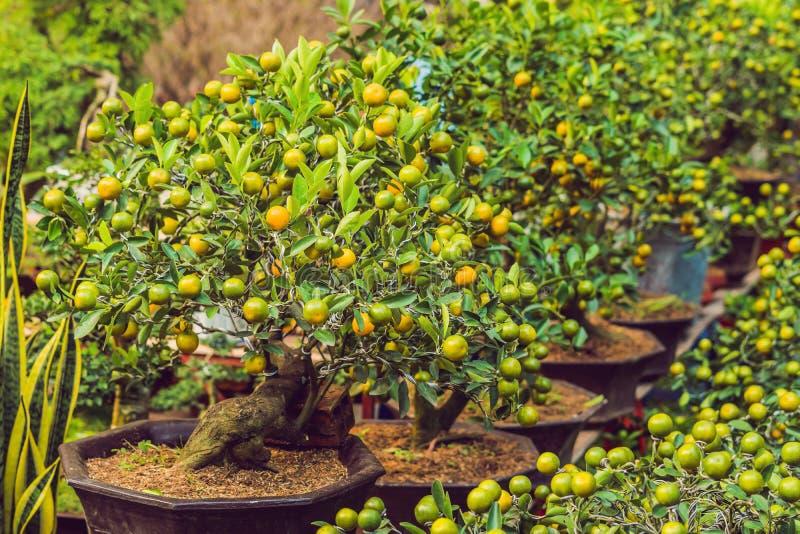 Feche acima das citrinas alaranjadas vibrantes em uma árvore de Kumquat na honra imagem de stock