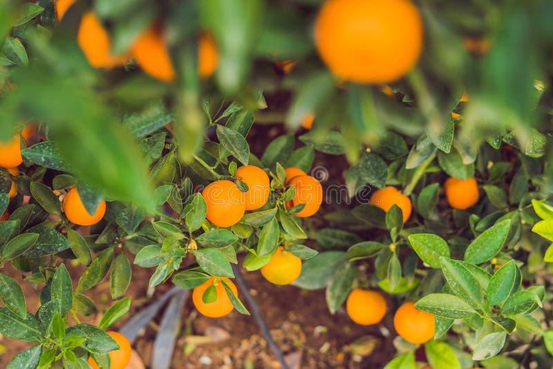 Feche acima das citrinas alaranjadas vibrantes em uma árvore de Kumquat na honra imagens de stock royalty free