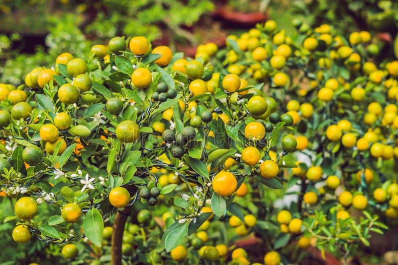 Feche acima das citrinas alaranjadas vibrantes em uma árvore de Kumquat na honra fotografia de stock