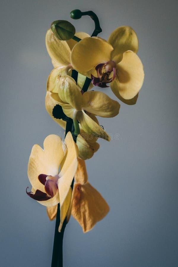 Feche acima das flores amarelo e rosa da orquídea fotografia de stock