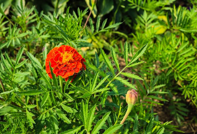 Feche acima das flores bonitas do cravo-de-defunto em um jardim foto de stock royalty free