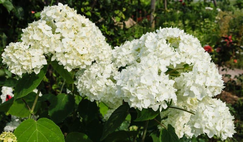 Feche acima das flores brancas bonitas da hortênsia em um jardim foto de stock royalty free