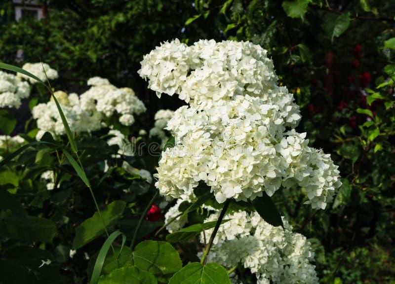 Feche acima das flores brancas bonitas da hortênsia em um jardim fotos de stock royalty free