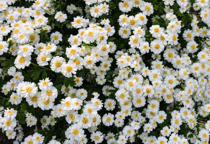 Feche acima das flores brancas bonitas e pequenas do verão em um jardim fotografia de stock royalty free
