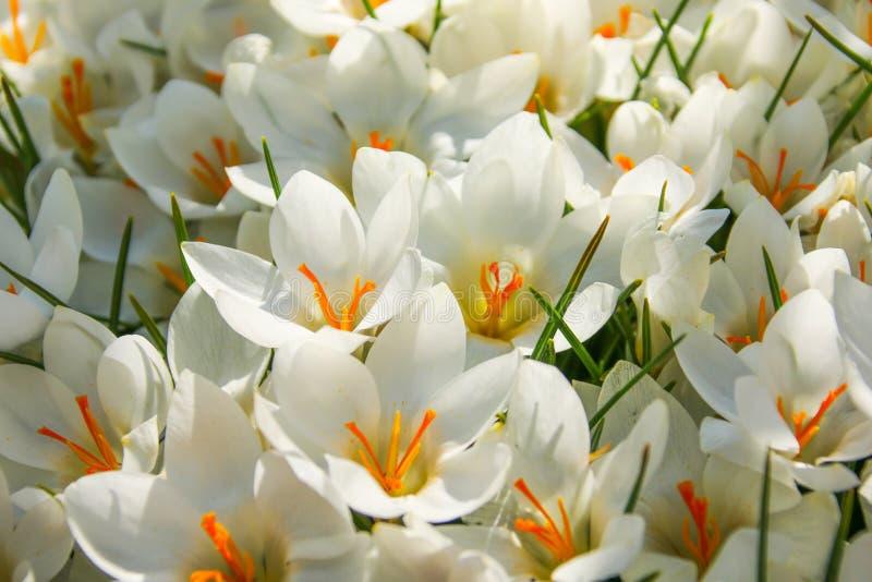Feche acima das flores brancas de um açafrão na flor completa foto de stock