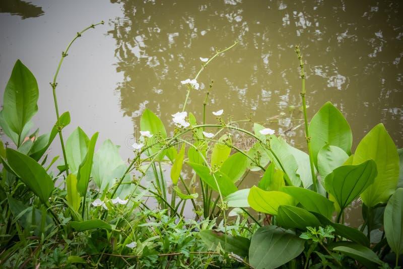 Feche acima das flores brancas do pântano na luz natural e na reflexão de grandes árvores fotos de stock royalty free