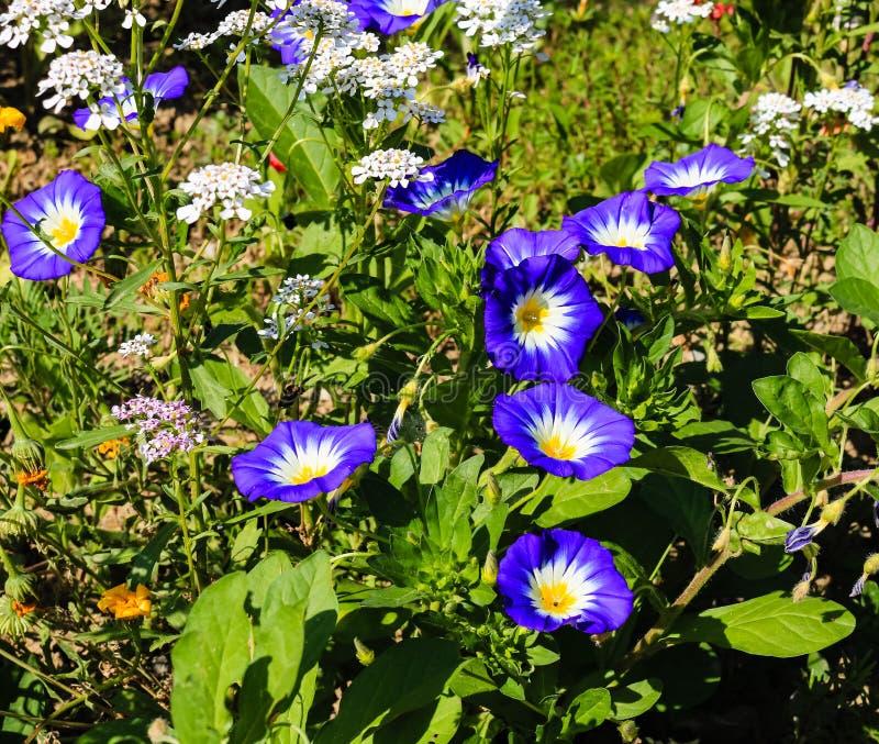 Feche acima das flores brancas e azuis bonitas do verão em um jardim imagem de stock royalty free