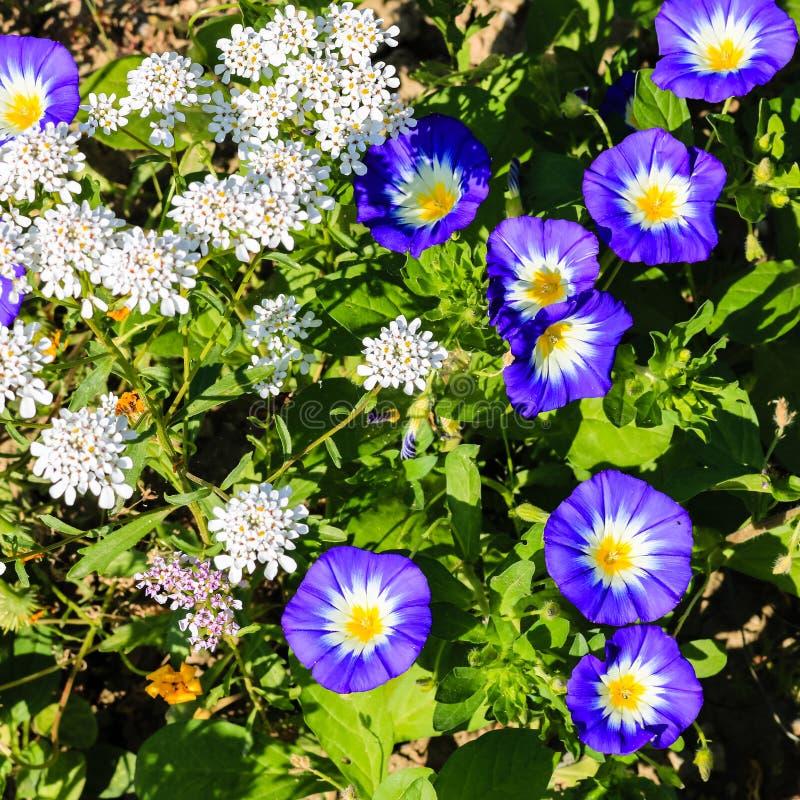Feche acima das flores brancas e azuis bonitas do verão em um jardim imagens de stock
