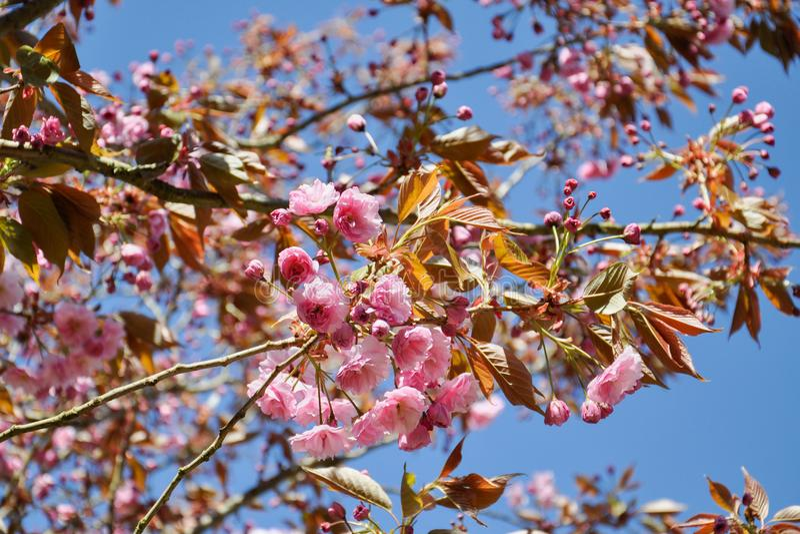 Feche acima das flores cor-de-rosa bonitas de sakura na manhã Cherry Blossom imagens de stock royalty free