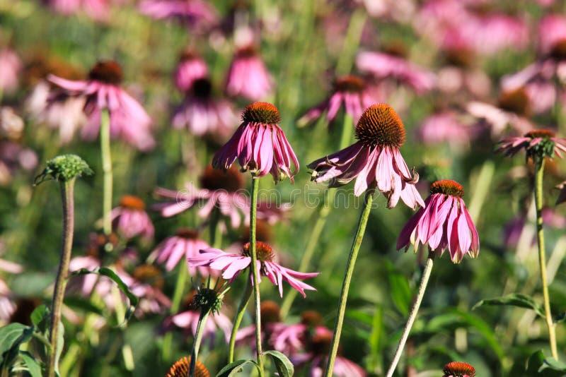 Feche acima das flores cor-de-rosa do purpurea do echinacea antes de desvanecer no sol brilhante do outono e no fundo verde borra foto de stock