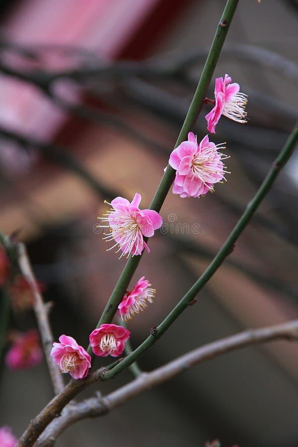 Feche acima das flores da amêndoa fotos de stock
