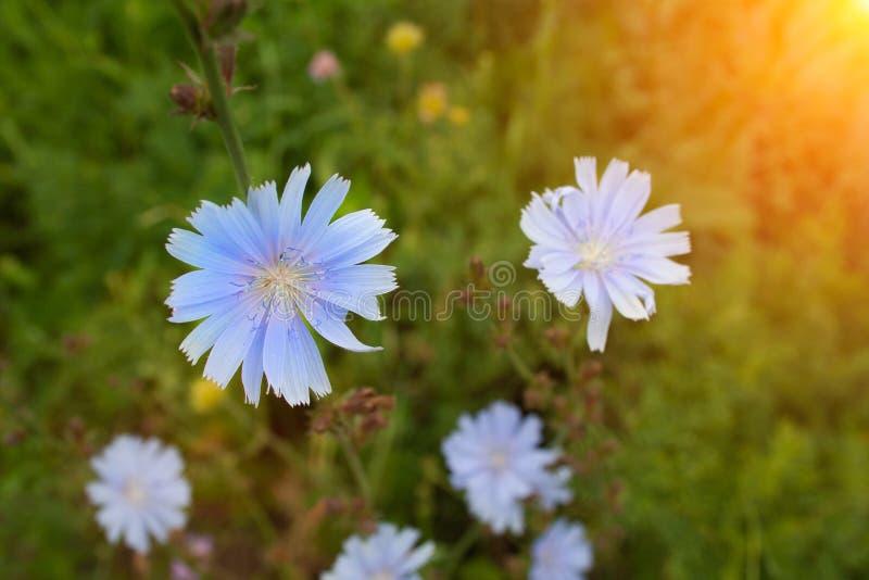 Feche acima das flores da chicória foto de stock royalty free