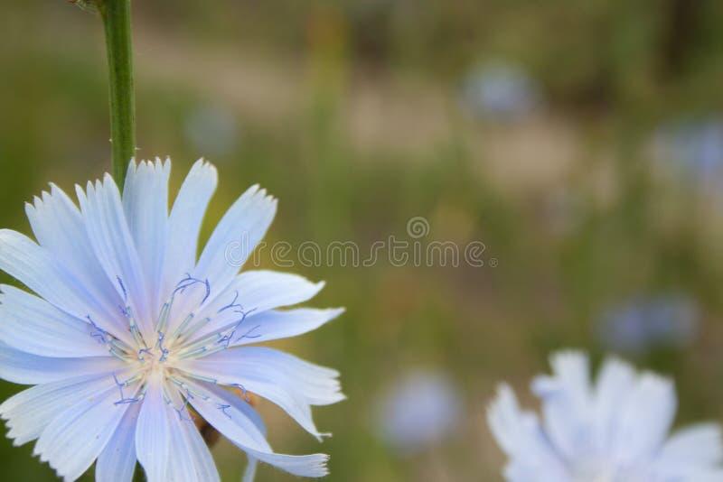 Feche acima das flores da chicória imagem de stock