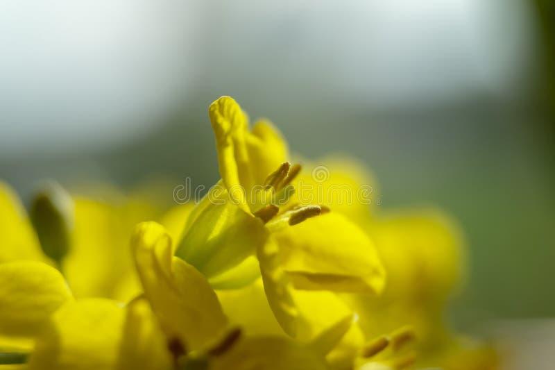 Feche acima das flores da colza imagem de stock