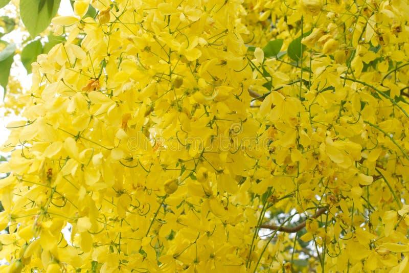 Feche acima das flores da corrente dourada foto de stock