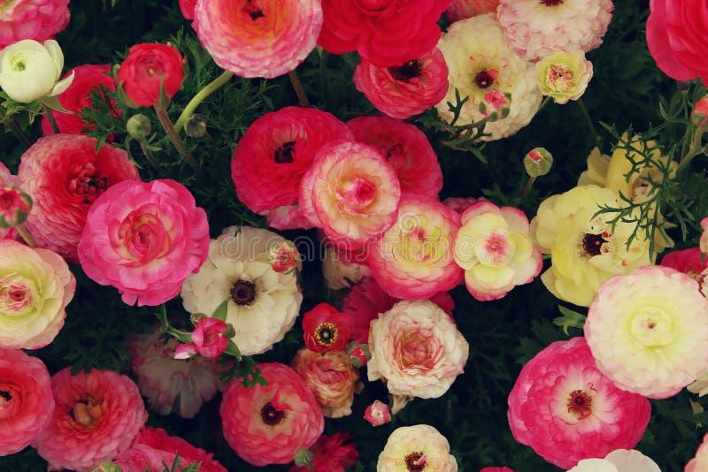 Feche acima das flores da mola vermelha Foto da vista superior fotos de stock