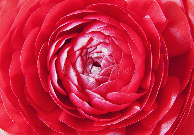 Feche acima das flores da mola vermelha Foto da vista superior fotografia de stock